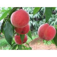 映霜红桃树苗种植_优质的映霜红桃树苗出售